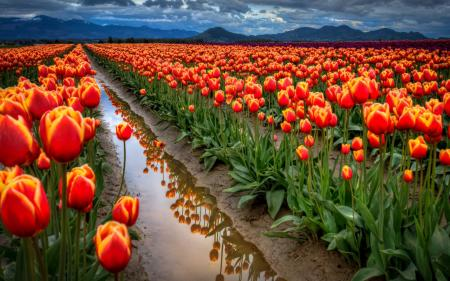 Tulips after rain