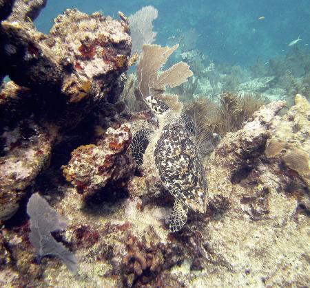Turtle Crawling Up Key Largo Molassas Reef