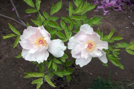 Two White Tree Peonies