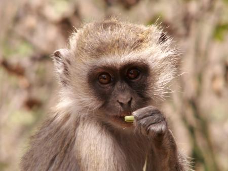 Vervet Monkey - A Portrait