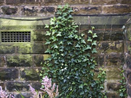 Vine Ivy on church wall