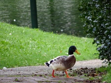 Walking duck in park