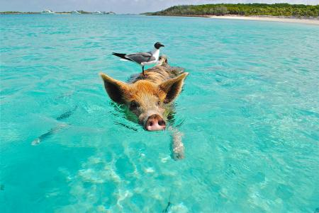 White and Gray Bird on the Bag of Brown and Black Pig Swimming on the Beach during Daytime