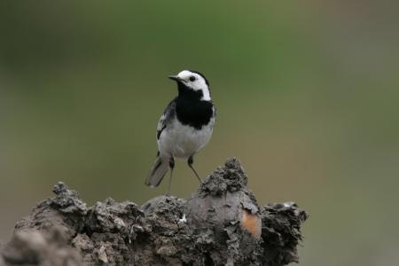 White Black Bird