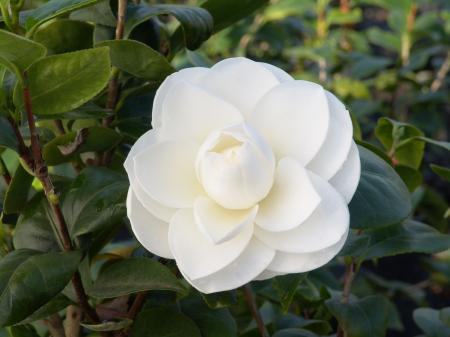White camellia's
