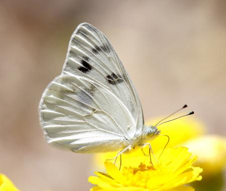 WHITE, CHECKERED (Pontia protodice) (6-5-13) nye co, nevada