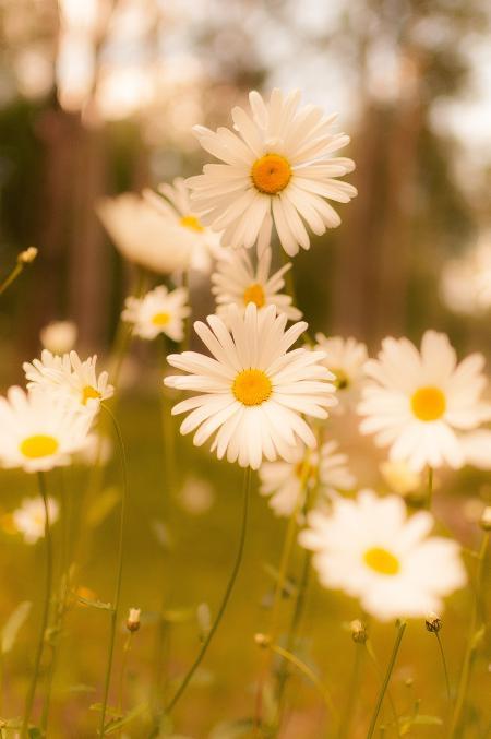 White Daisy in Bloom