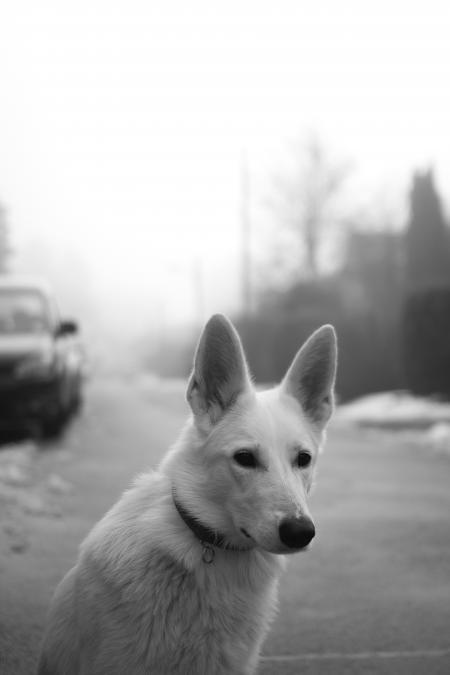 White Dog on Road