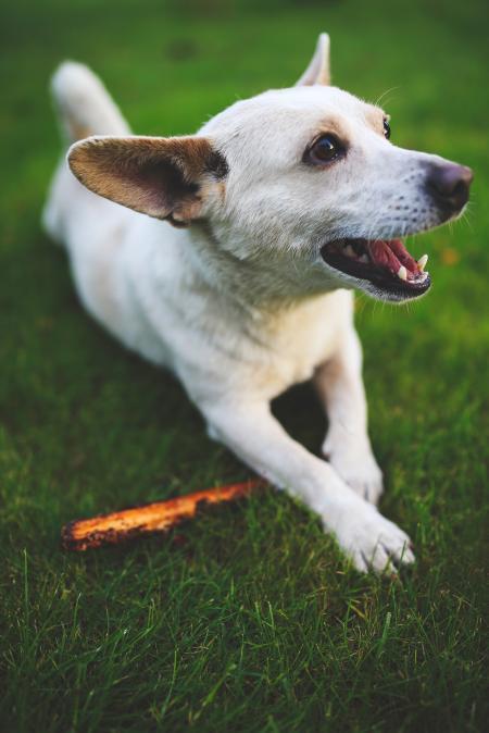 White dog with stick