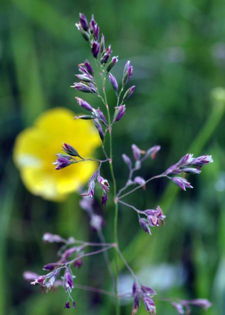 Wild Grass with Flower