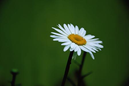 Yellow and White Daisy Flower