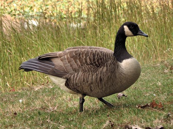 A Canada goose in tall grass