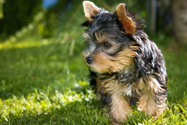 Black Tan Yorkshire Terrier
