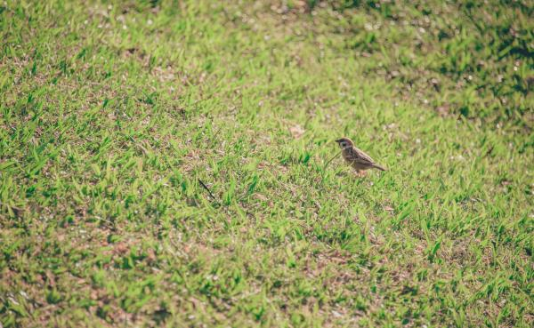 Brown Bird on Grass Lawn