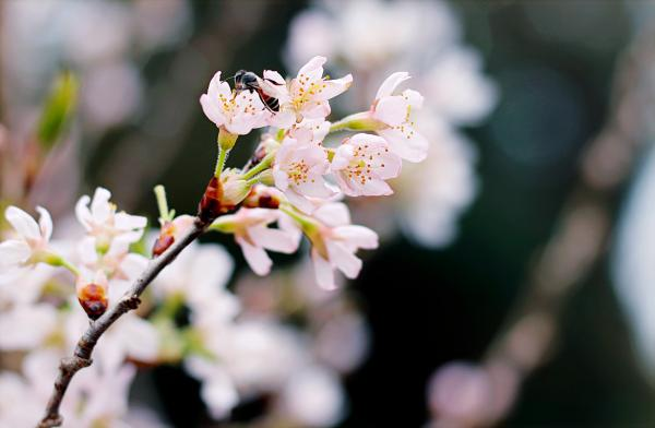 Selective Focus Photography of White Cherry Blossoms