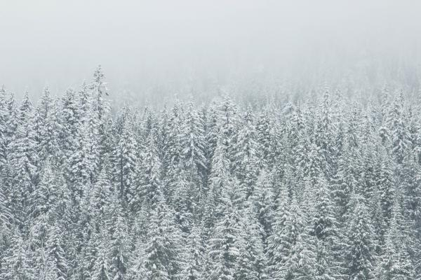 White Snow Trees in winter