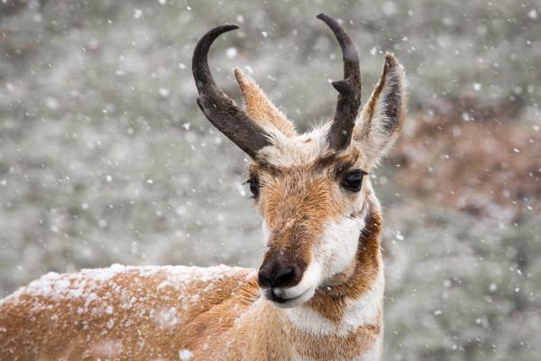 Wild Pronghorn